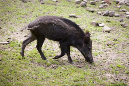 Bowland Wild Boar Park 040617 082 © Nick Dagger Photography